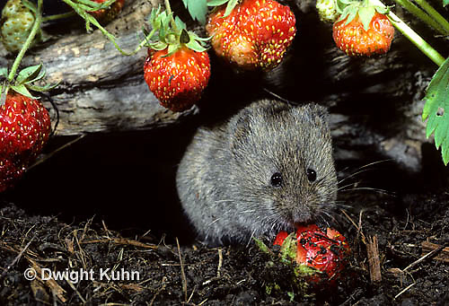 MU30-072z   Meadow Vole - eating strawberries - Microtus pennsylvanicus