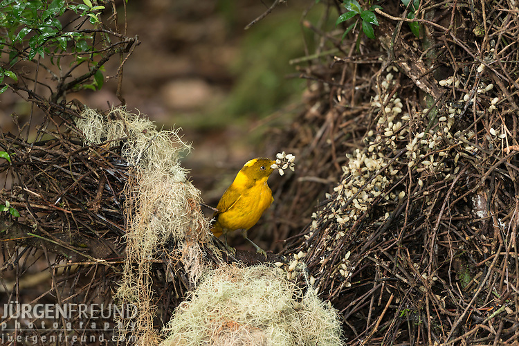 Golden Bowerbird bower with his lichen and flower arrangements.  Endemic to the Atherton Tablelands rainforest in altitudes above 700m is the Golden Bowerbird, Prionodura <br /> newtoniana. Although the smallest bowerbird in Australia, the male of this species builds the largest bower, an <br /> elaborate U-shaped bower, which he decorates with lichens and tiny white flowers. This bower serves as his <br /> seduction lair – singing his distinct song to attract his less flamboyant female.