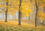 Washington, Spokane, South Hill, Manito Park. A foggy autumn day.