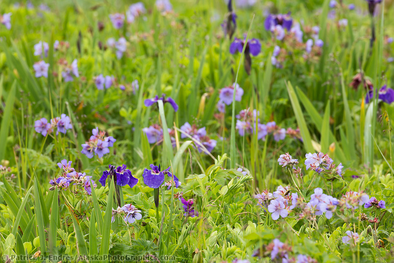Field of wildflowers, wild iris and wild geranium blossoms, Katmai National Park, Alaska Peninsula, southwest Alaska.