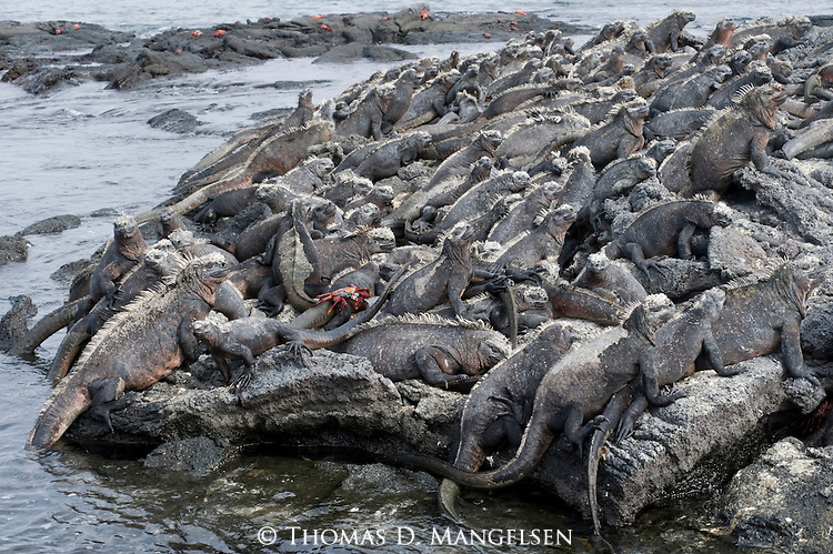 Marine iguanas and sally lightfoot crabs lay on a rocky beach in the Galapagos Islands, Ecuador.