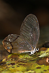Clearwing Satyr, Haetera piera, on leaf in forest floor, Manu, Peru, Amazon jungle, glass wing, delicate, eye spots. .South America....