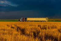 Semi trailer truck carrying grain during the wheat harvest, Schields & Sons Farming, Goodland, Kansas USA.