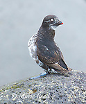 Least Auklet (Aethia pusilla), adult in breeding plumage, Antone Beach, St. Paul Island, Pribilofs, Alaska, USA