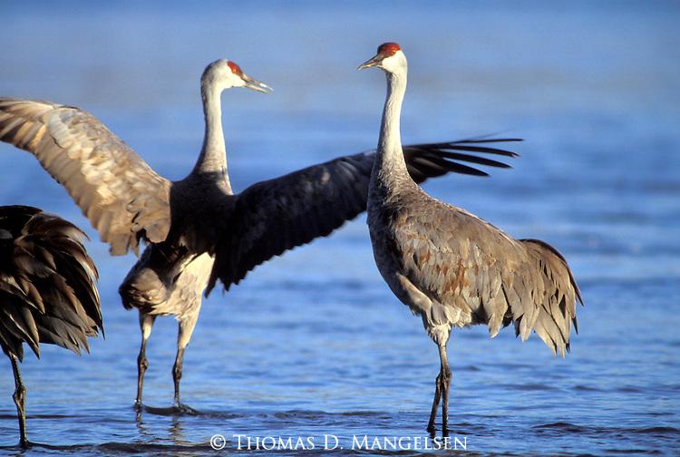 Sandhill Cranes wading in the water Platte River, Nebraska