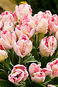 Tulip 'Elsenburg' (Parrot Group).