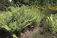 Wald-Frauenfarn, Waldfrauenfarn, Frauenfarn, Frauen-Farn, Athyrium filix-femina, Lady Fern