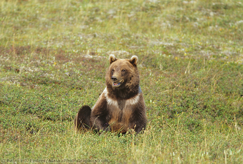 Grizzly bear cub sits on the summer tundra in Denali National Park, Alaska