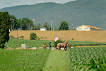 Nippenose Valley. Amishman cutting hay in June.