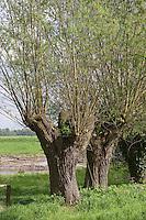 alte Kopfweiden, Kopfweide, Kopf-Weiden, Kopfbaum, Weide, Weiden, Salix spec., Sallow, Willow, Pollard Willow