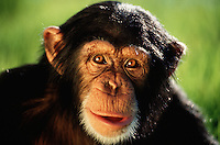 Portrait of a Common chimpanzee (Pan troglodytes verus).