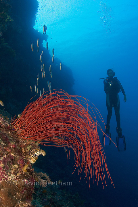 Whip coral dominates this reef scene with a diver (MR). Indonesia.