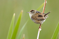 Marsh Wren - Troglodytes palustris