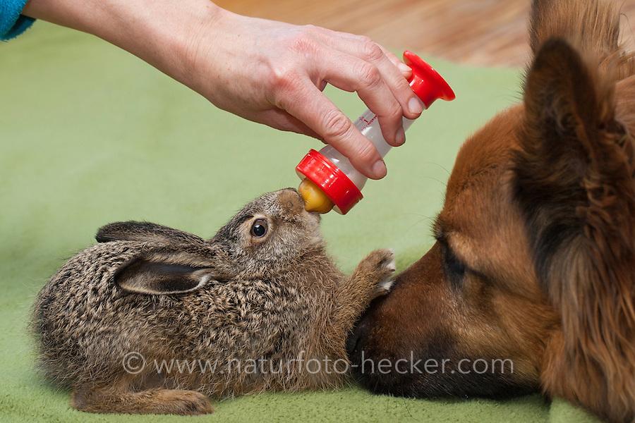 """Feldhase, Feld-Hase, Hase, Aufzucht Pflege eines verwaisten Junghasen, füttern, Flasche mit Spezial-Aufzuchtsmilch, Milchfläschchen. Pflegebedürftiges, in Menschenhand gepflegtes, zahmes Jungtier spielt mit Hund, Freundschaft zwischen Hund und Wildtier, """"Laska"""". Jungtier, Tierbaby, Tierbabies, Tierbabys, Lepus europaeus, hare, hares"""