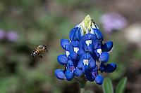Bluebonnet and Honey Bee