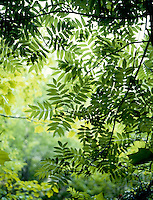 PHOTOSYNTHESIS: PRESENCE OF CHLOROPHYLL<br /> Walnut Tree<br /> Green chlorophyll in the plant captures energy from the sun. The plants roots absorb water. The sun's energy spits the water into hydrogen and oxygen. Hydrogen joins with carbon dioxide (from air) to make sugar (food). Oxygen is released into the air.