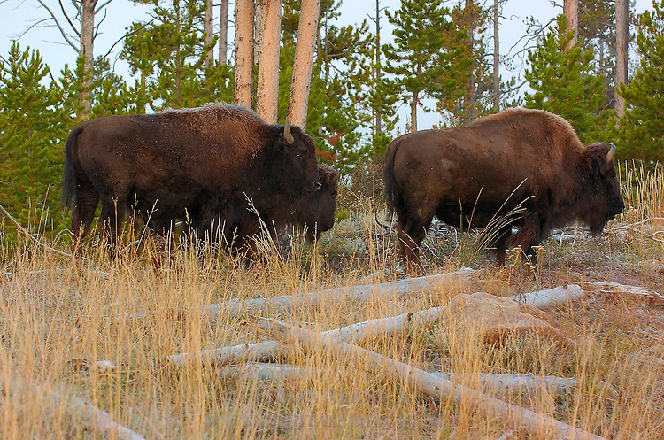 Bison at Dawn, Madison Junction, Yellowstone National Park, Wyoming