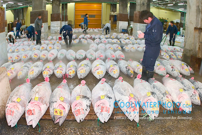 frozen tunas, Thunnus sp., getting set for auction, Tsukiji Fish Market or Tokyo Metropolitan Central Whalesale Market, the world's largest fish market  hadling over 2500 tons and over 400 different kind of fresh sea food per day
