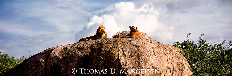 A lion pair lay on a rock outcropping in Serengeti National Park, Tanzania.