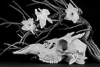 Young Deer Skull with Manzanita Branch and Dead Daffodils