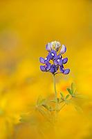 Texas Bluebonnet (Lupinus texensis), blossom in wildflower field, Fennessey Ranch, Refugio, Coastal Bend,Texas Coast, USA