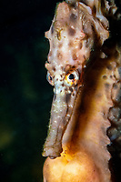close-up of Australian pot-belly seahorse, Hippocampus bleekesi (formerly H. abdominalis), pregnant male, New Zealand, Pacific Ocean (endemic)