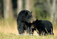 01872-007.05  Black Bear (Ursus americanus) female with 2 cubs  Great Smoky Mountains National Park  TN