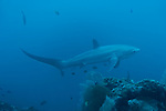 Malapascua Island, Cebu, Philippines; a Thresher Shark swims past the cleaning station at Monad Shoal