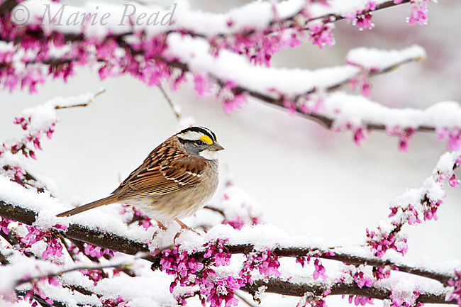 White-throated Sparrow (Zonotrichia albicollis), perched in snow-covered eastern redbud, after a freak spring snowstorm, New York, USA