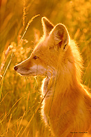 Young Red Fox in Red Rock Lakes National Wildlife Refuge, Montana