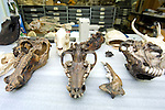 Fragments of ice age skulls and jaw bones at the lab at the Page Musuem at the La Brea Tar Pits in Los Angeles, CA