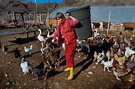 Wasco, Oregon, January 1984: Disciples of Bhagwan Rajneesh, working in the poultry farm. The residents of Rajneeshpuram raised the chicken for eggs and grew their own vegetables. Rajneeshpuram, was an intentional community in Wasco County, Oregon, briefly incorporated as a city in the 1980s, which was populated with followers of the spiritual teacher Osho, then known as Bhagwan Shree Rajneesh. The community was developed by turning a ranch from an empty rural property into a city complete with typical urban infrastructure, with population of about 7000 followers.