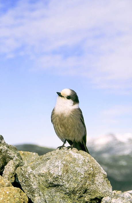 Whatever name you call them, Camp Robber, Whisky Jack, or Grey Jay, these birds will steal your sandwich if you look away !