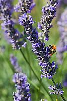Europe/France/Provence-Alpes-Côte d'Azur/84/Vaucluse/Lubéron/Env de Saignon:  Détail champ de Lavande et abeille butinant