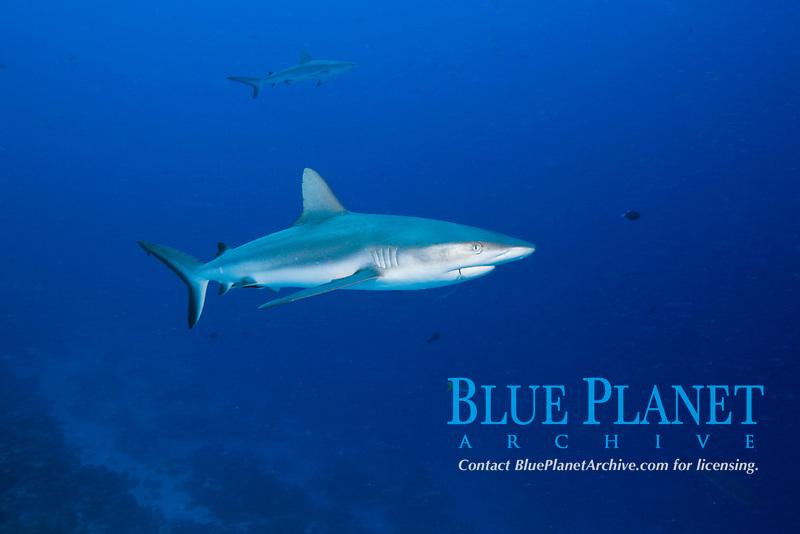 Grey Reef Shark, Carcharhinus amblyrhynchos, Ulong Channel, Micronesia, Palau