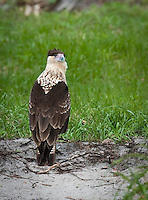 Juvenile Crested-Caracara standing on the ground