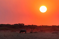 A lone white rhino grazing at sunset.