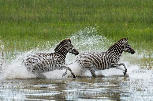 Zebras running through shallow flood waters in the Okavango Delta, Botswana, Africa.