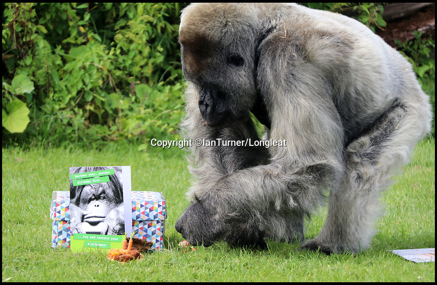 BNPS.co.uk (01202 558833)<br /> Pic: IanTurner/Longleat/BNPS<br /> <br /> Like most 56 year old's, Nico, Longleat Safari Park's oldest resident, looked like he hoped staff had forgotten his birthday this week.<br /> <br /> The ageing Western Lowland silverback is the oldest Gorilla in Europe, and the second oldest in the world.<br /> <br /> The grumpy ape had a cursory glance at his birthday card which had his face on it with a tongue in cheek caption to 'try and contain your excitement' but then unceremoniously discarded it. <br /> <br /> However, the grumpy gorilla did crack a smile as he devoured his birthday cake which was made out of bananas and courgettes with some carrot candles.