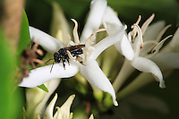 A trigona scaptotrigona bee forage and pollinate a coffee flower.