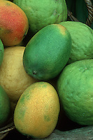 Mangifera indica 'Kent' Ripe Mango Tropical Fruits - a picked group in a variety of ripening stages from unripe to fully ripe, green, in a pile