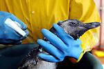 20100727/ Nicolas Celaya - adhocFOTOS/ URUGUAY/ MALDONADO/ SOCOBIOMA/ Rescate de Pinguinos de Magallanes empetrolados, por parte de la Sociedad para la Conservacion de la Biodiversidad de Maldonado. <br /> En la foto: Rescate de Pinguinos de Magallanes empetrolados, por parte de la Sociedad para la Conservacion de la Biodiversidad de Maldonado. Foto: Nicol&aacute;s Celaya /adhocFOTOS