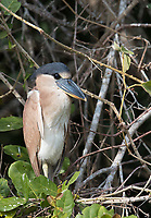 One of the odder-looking species of the Pantanal is this nocturnal heron.