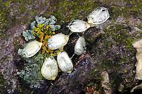 Mistel, Laubholz-Mistel, Weißbeerige Mistel, Viscum album, Samen, Mistletoe, European mistletoe, common mistletoe, mistle, Le gui, gui blanc, gui des feuillus