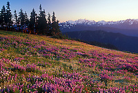 Lupine field on Hurricane Ridge , summer. Mt. Olympus in the background. Along the Obstruction Point Road. Olympic National Park, WASHINGTON