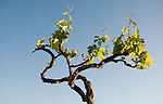 Grape vine against the sky. Tenerife, Canary Islands, Spain