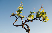 Grape vine against the sky. Tenerife, Canary Islands, Spain