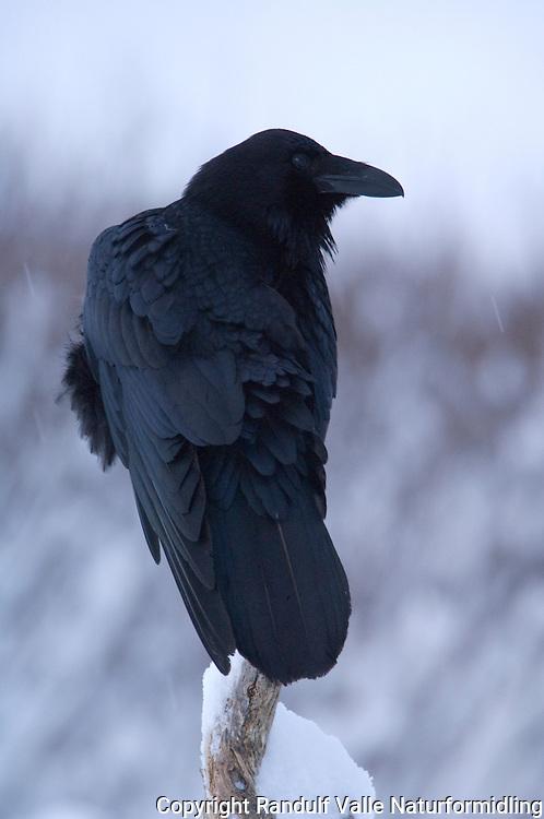 Ravn ---- Raven