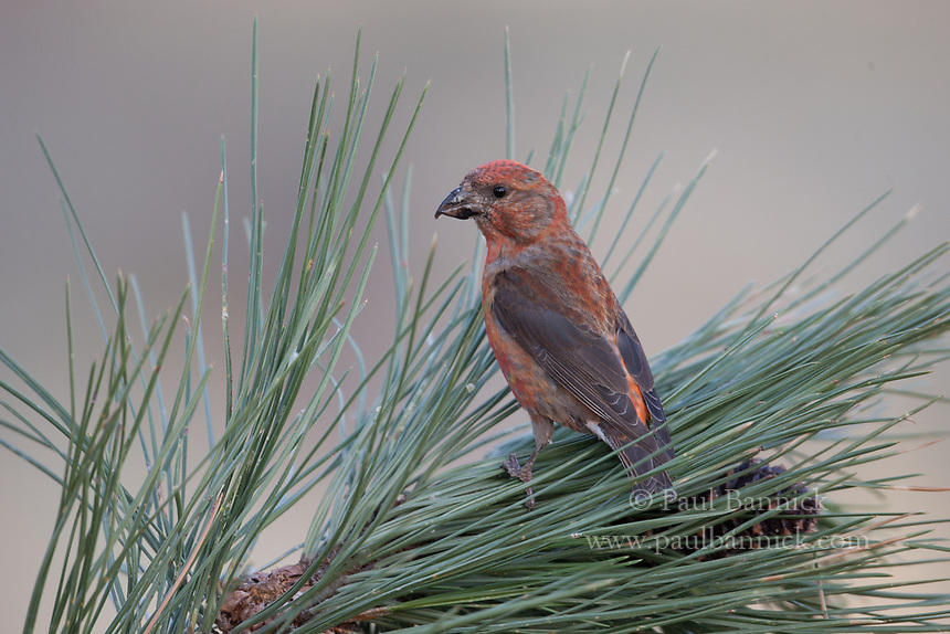 A Red Crossbill, Loxia curvirostra, searches for seeds in Ponderosa Pine cones.