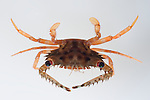 Crab found in a dead coral head (Pocillipora verrucosa)  taken apart by French scientist Laetitia Plaisance as part of Barcode of Life project.